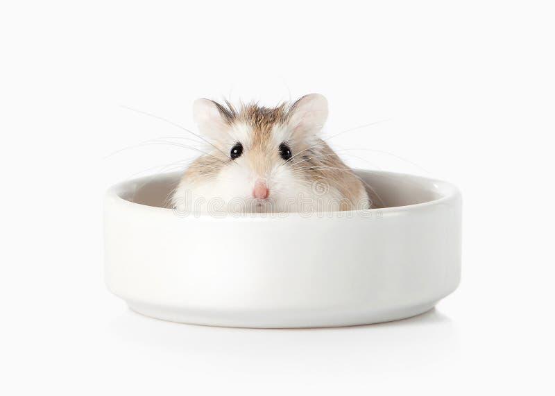 husdjur Roborovski hamster som isoleras på vit bakgrund royaltyfri bild