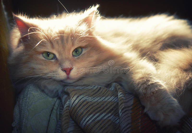 husdjur Siberian manlig katt arkivfoton