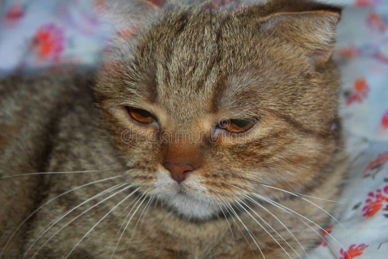 husdjur Sova katt royaltyfri foto