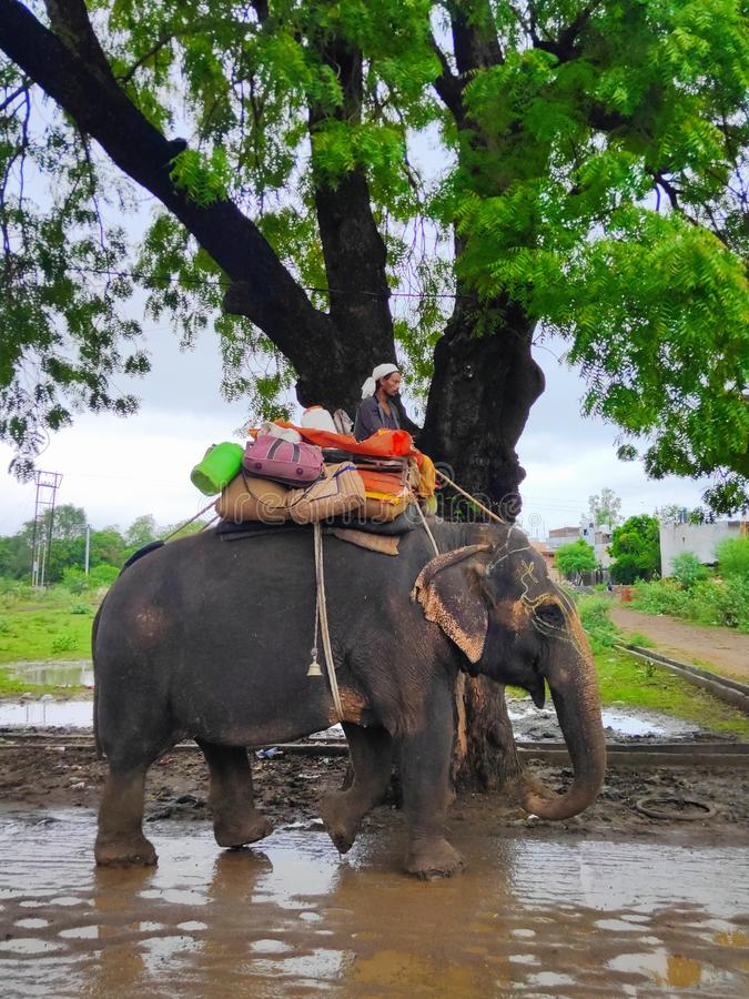 Husdjurelefantdjur i Indien arkivbilder