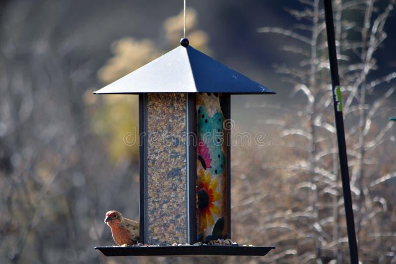 Husfink på en fågelförlagematare arkivbilder