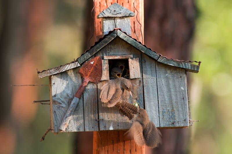 Husgärdsmygar arbetar tillsammans för att lirka deras nyligen kläckte fågelungar för arkivfoton