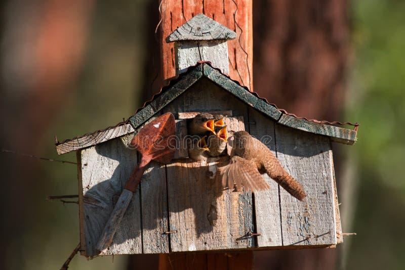 Husgärdsmygen matar henne kläckte nyligen fågelungar för att lirka dem från thei royaltyfri bild
