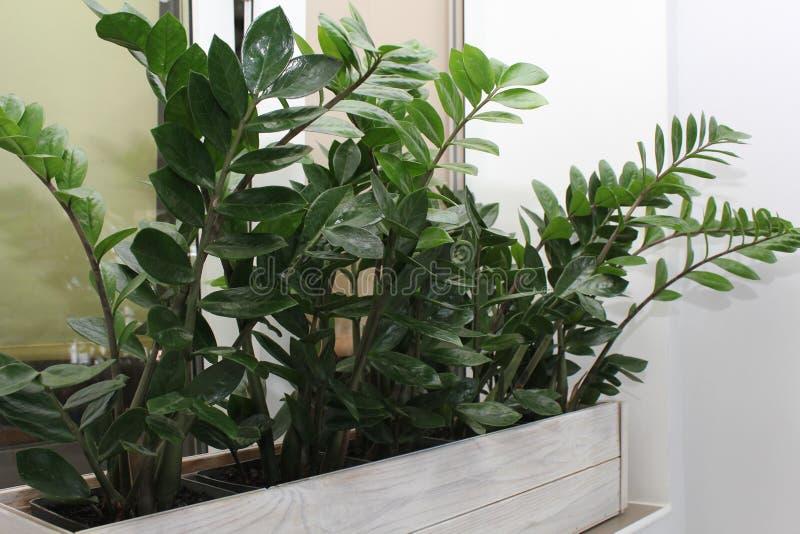 Hushållbegreppet av tar omsorg av inomhus växter Zamioculcas fotografering för bildbyråer