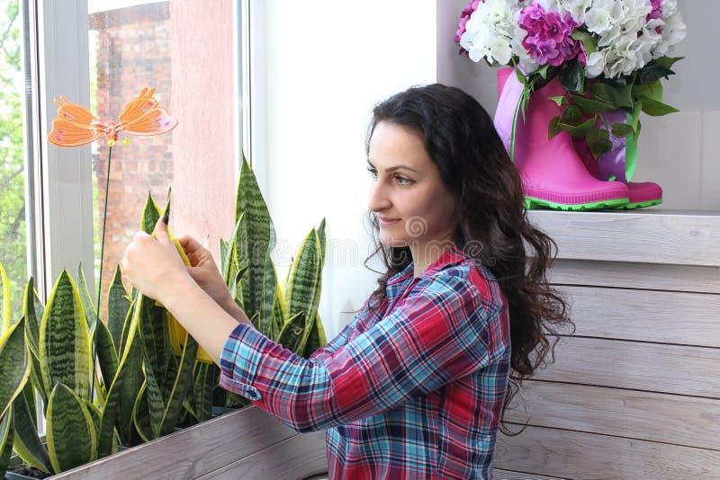 Hushållbegreppet av tar omsorg av sansevieria för inomhus växter arkivbilder