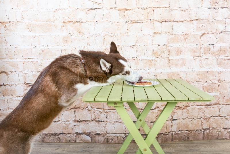 Husk`s dog steals a piece of sausage from the table in secret from the owners. royalty free stock photo