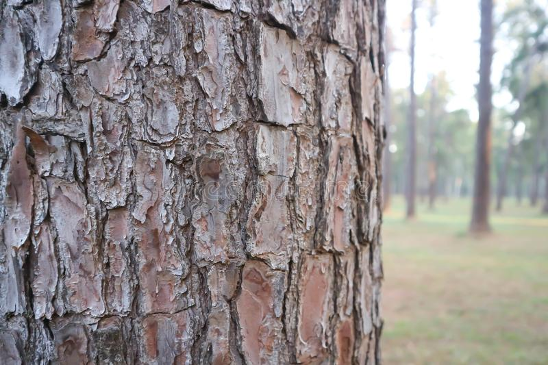 Husk tree or tree bark or pine tree royalty free stock images