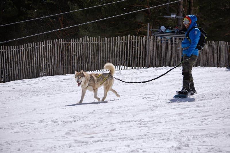 Huskey dog pulling a snowboarder down a gentle snowy slope in Manzaneda ski resort,  Spain stock photo