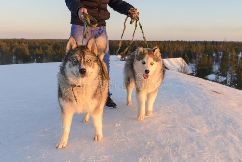 Huski dogs on Yamal Peninsula royalty free stock image