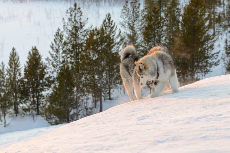 Huski dogs on Yamal Peninsula. Huski dogs on the Yamal Peninsula stock photo