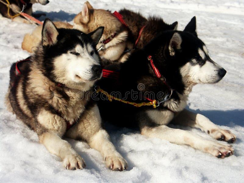 Huskie op sneeuw royalty-vrije stock afbeeldingen