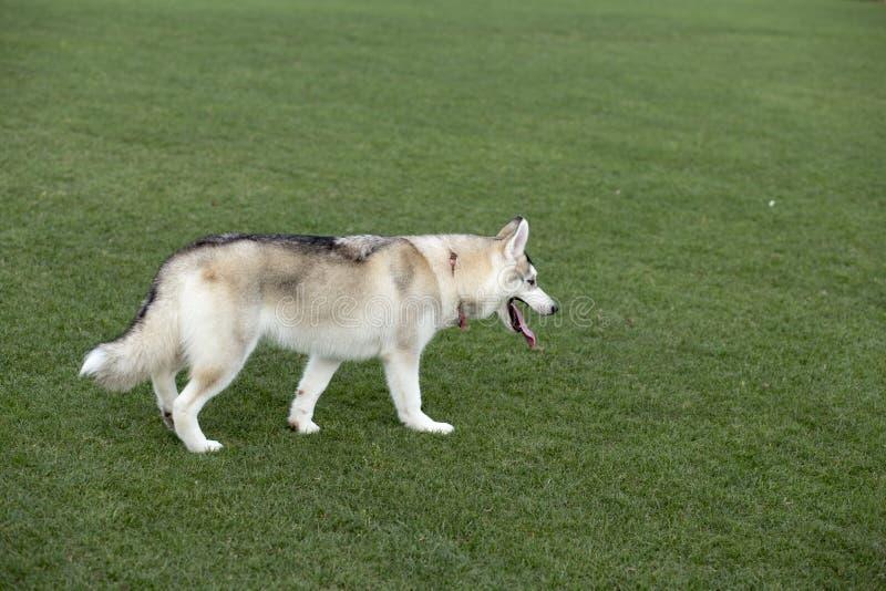 huskies imagen de archivo libre de regalías