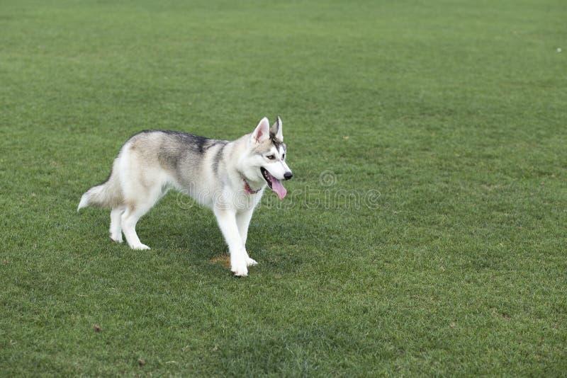 huskies fotos de archivo libres de regalías