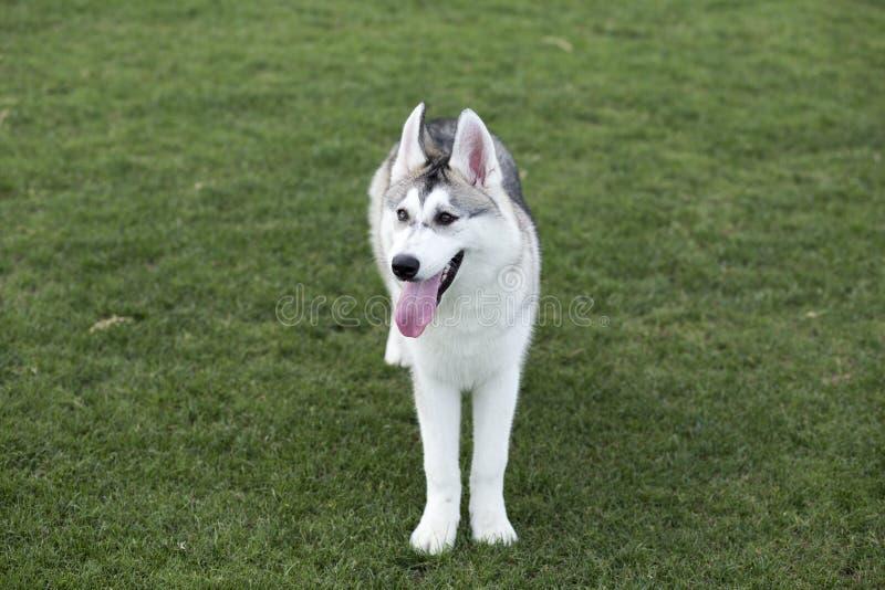 huskies fotos de archivo