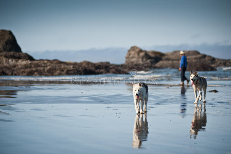 Huskies dogs taking a walk with a woman stock images