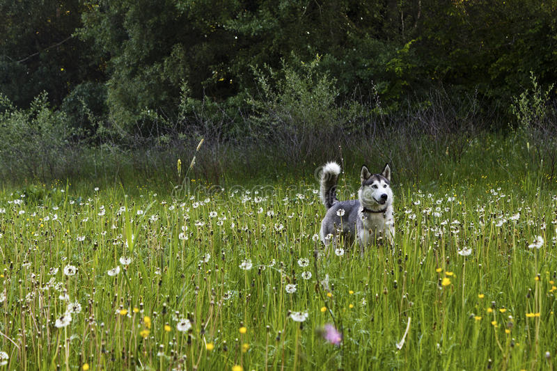 Huskies on the field royalty free stock photography
