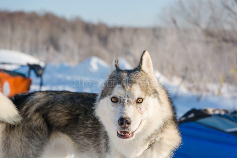 huskies Haskiya del montar a caballo en el invierno fotos de archivo