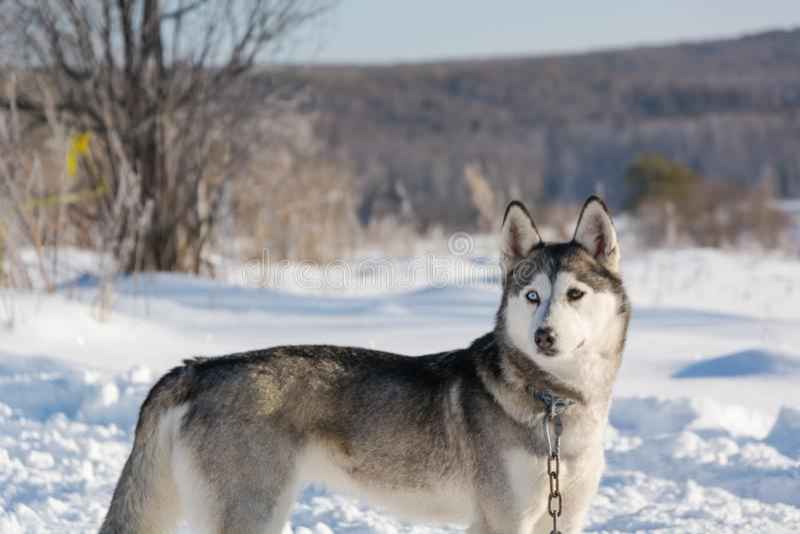 huskies Haskiya del montar a caballo en el invierno imágenes de archivo libres de regalías