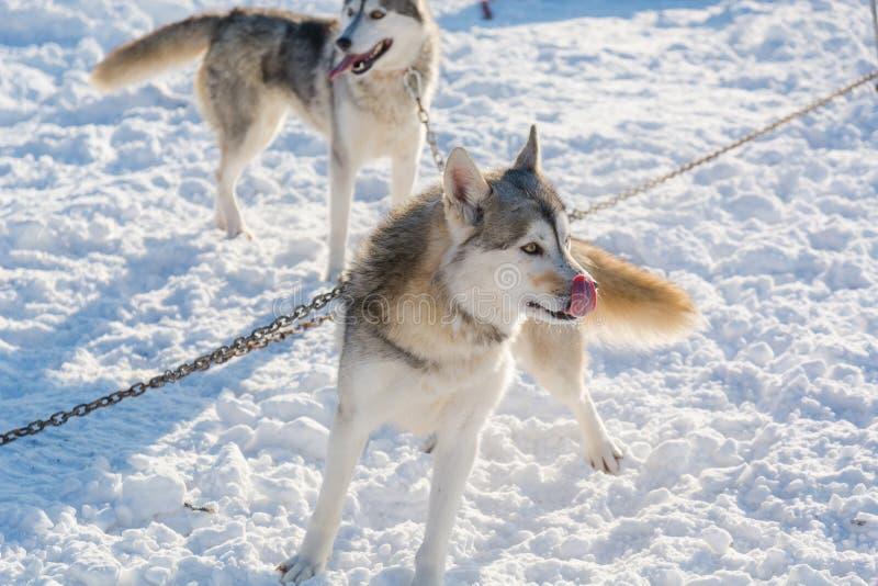 huskies Haskiya del montar a caballo en el invierno fotografía de archivo