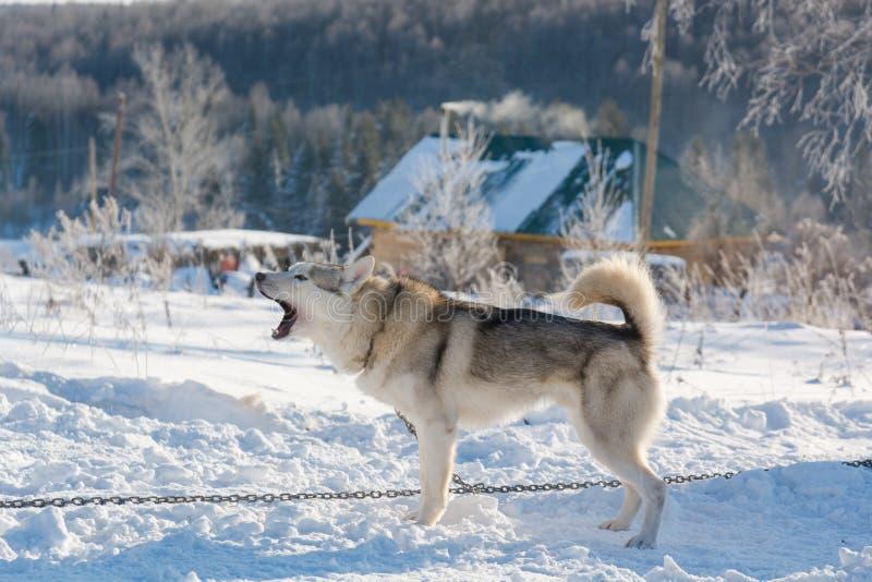 huskies Haskiya del montar a caballo en el invierno imagen de archivo