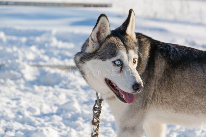 huskies Haskiya del montar a caballo en el invierno fotos de archivo libres de regalías