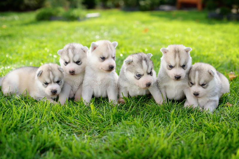 Huskies stock image