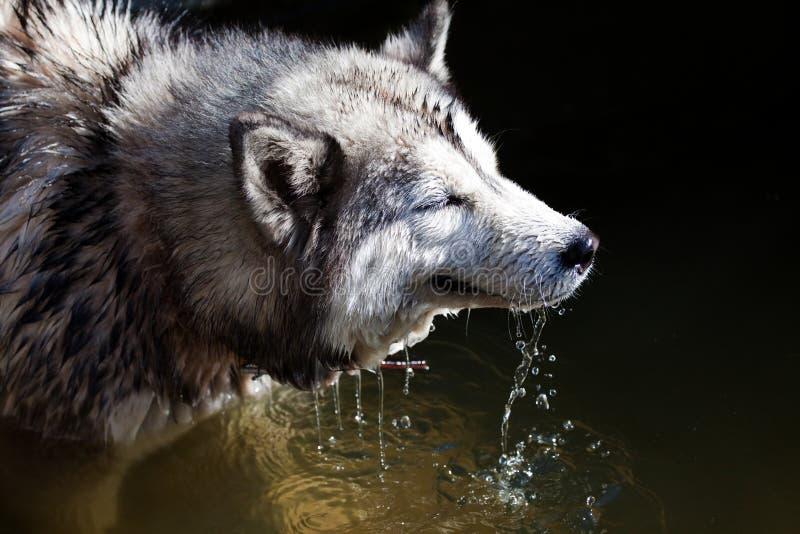 Download Husky stock photo. Image of furry, look, husky, breed - 11978756
