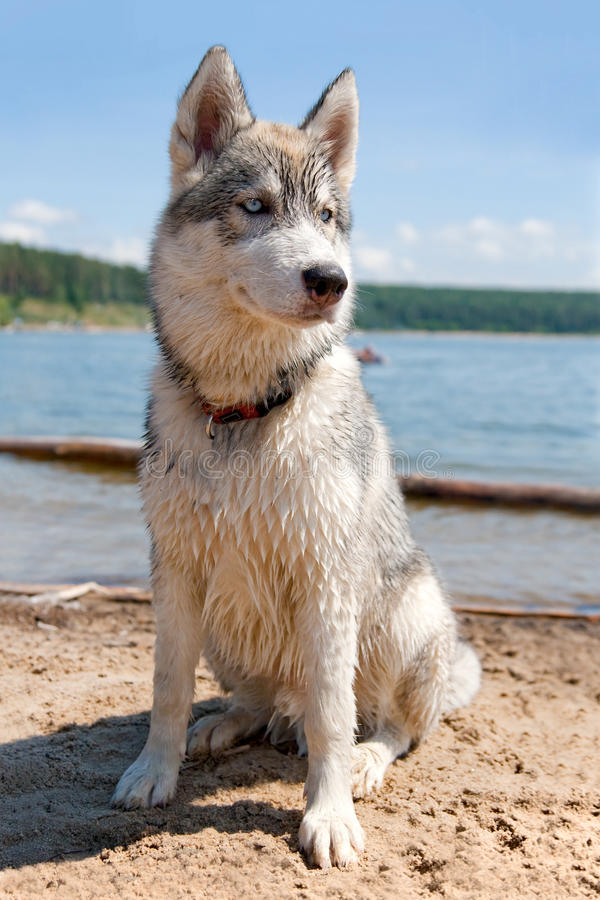 Download Husky Royalty Free Stock Photography - Image: 12100997