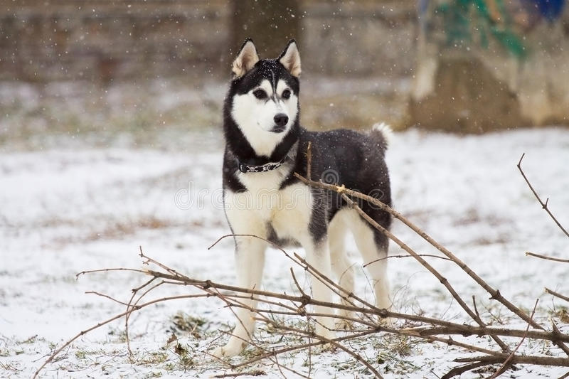 Download Husky Royalty Free Stock Image - Image: 16636946