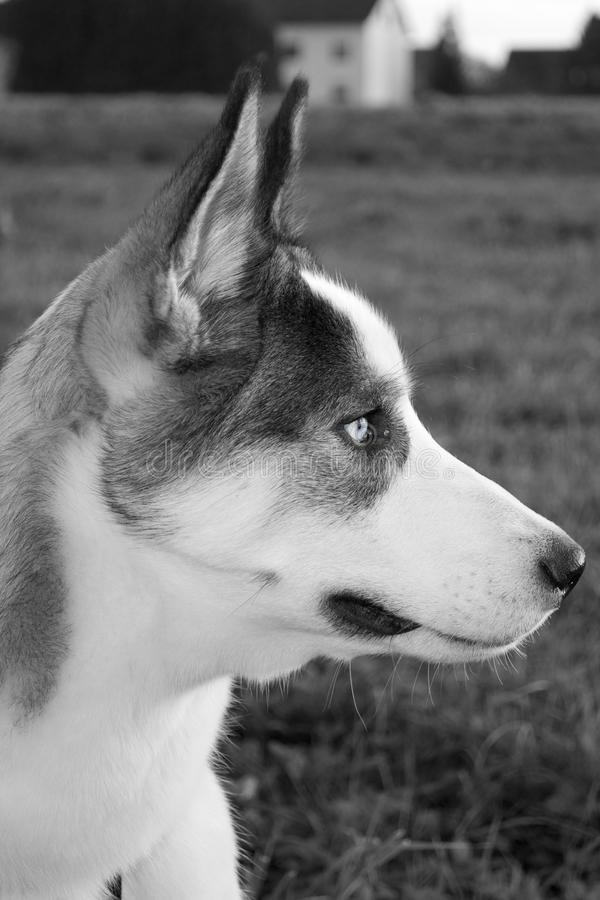 Download Husky stock photo. Image of still, close, thinking, portrait - 21890742