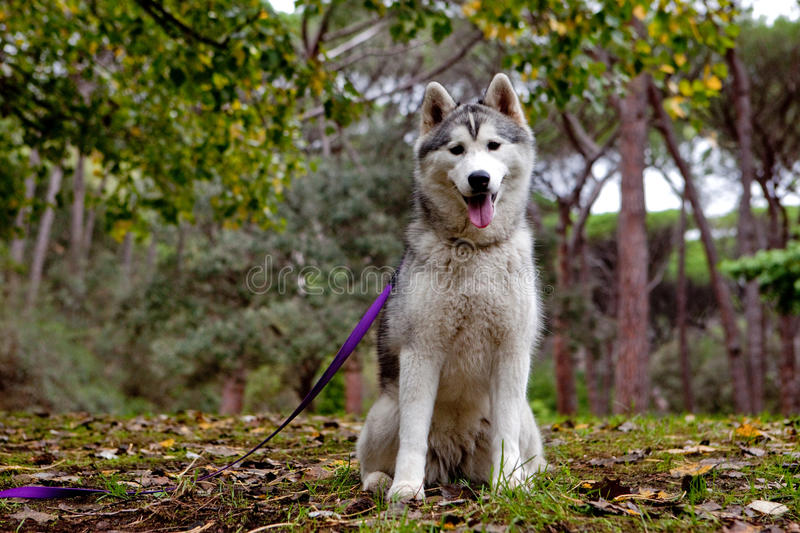 Husky. Sitting in the forest with lead on stock photos