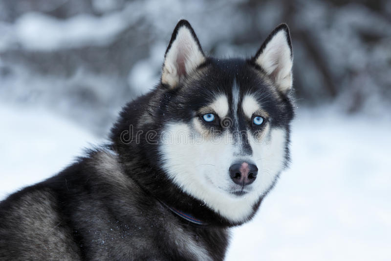 Husky fotografia stock