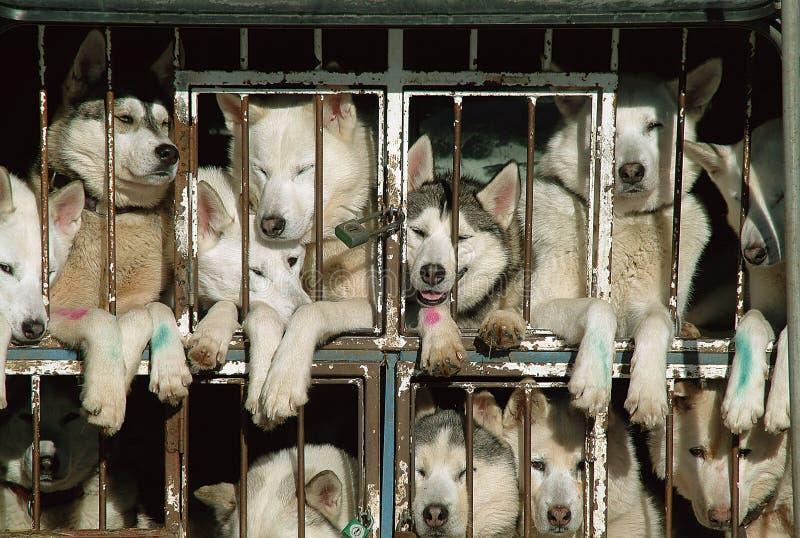 Husky immagine stock libera da diritti
