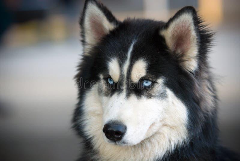 Husky. A fluffy blue-eyed husky stock photo