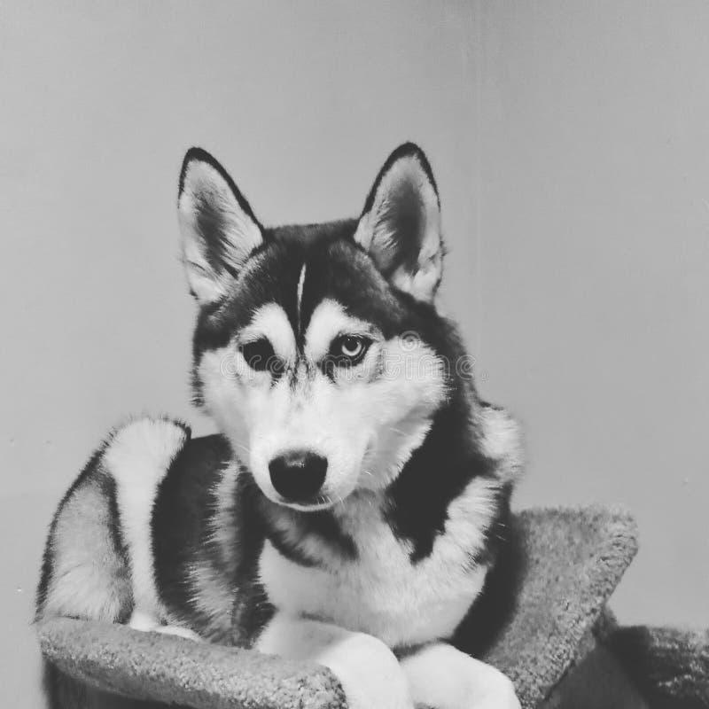 husky immagine stock