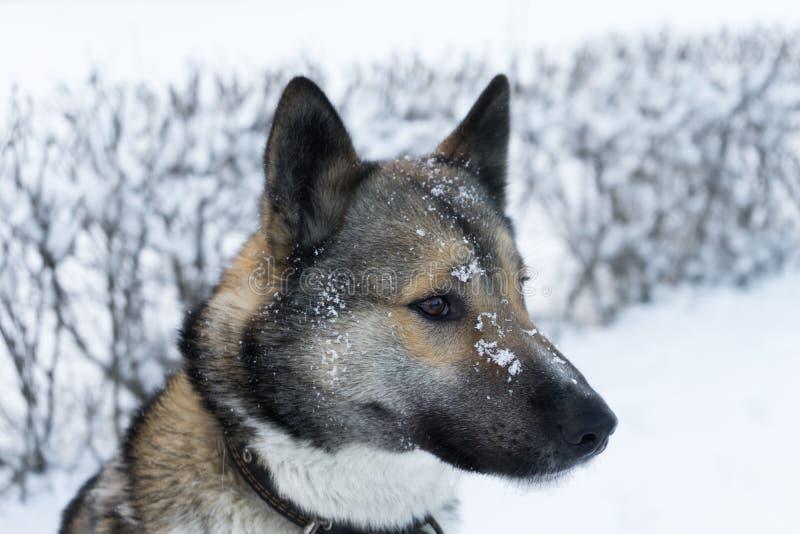 Husky al buon tempo di inverno per una passeggiata immagine stock