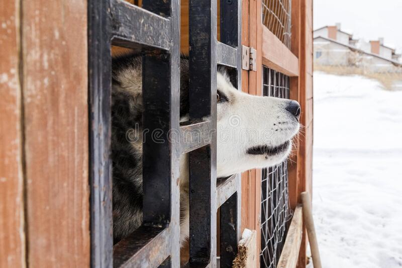 Husky in the aviary. Dog sticks its face out of the aviary royalty free stock image