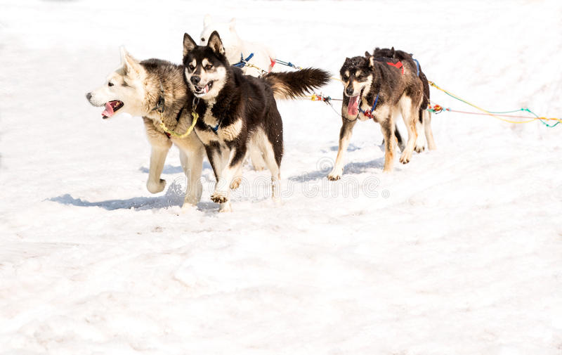 Download Husky Biega W Drużynie W Wiośnie Obraz Stock - Obraz złożonej z malamute, domowy: 53777503