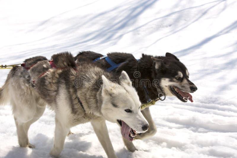 Download Husky Biega W Drużynie W Wiośnie Obraz Stock - Obraz złożonej z konkurencyjny, carnivore: 53785613