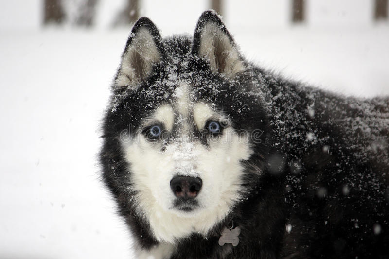Download Husky in a Blizzard stock image. Image of friend, december - 23301231