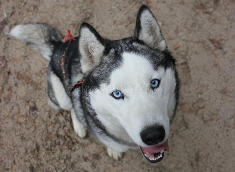 Husky with blue eyes sits and looks at you royalty free stock images
