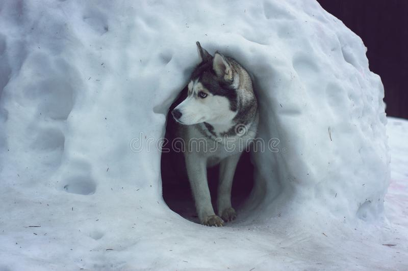 A husky breed dog emerges from a snow cave called the igloo of the Eskimos.  stock photography