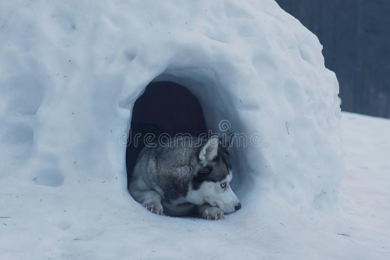 The husky breed dog lies at the entrance to the snow cave, called the igloo of the Eskimos.  stock image