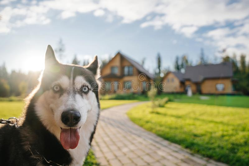 Husky breed`s dog face looks into the camera with a surprised, funny, playful mood. Doggy emotions royalty free stock photos