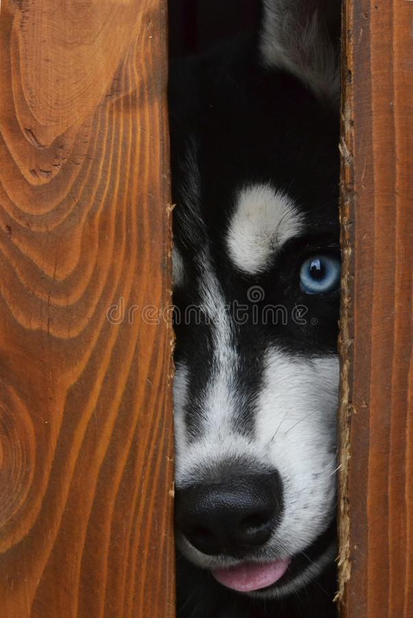 Husky in the cage stock photo