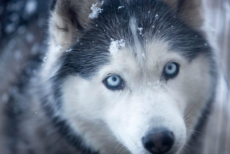 Husky che gioca nella neve immagine stock libera da diritti