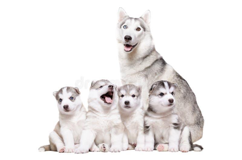 Husky dei cuccioli che si siede insieme alla mummia immagini stock libere da diritti