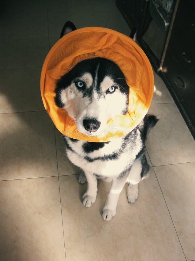 Husky del burlone immagine stock