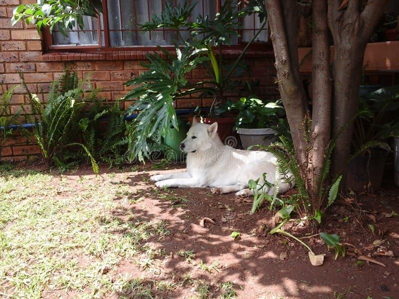 Husky del Malamute che riposa sotto l'albero immagine stock libera da diritti