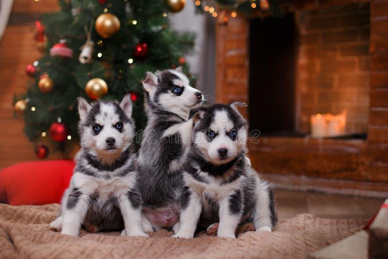 Husky del siberiano del cane immagini stock libere da diritti